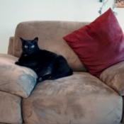 black cat on microsuede chair