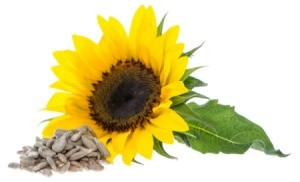 sunflower with seeds in foreground