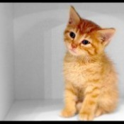 small orange tabby kitten