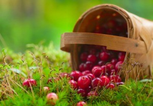fresh cranberries tumbling from a basket