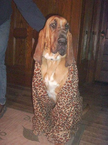Bumpis - Bloodhound