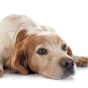 Restless Dog
