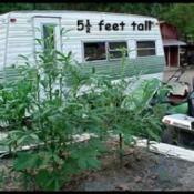 Flower Bed Okra Plants
