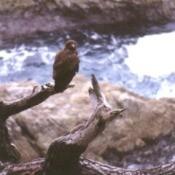 hawk on dead tree branch