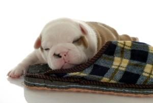 puppy sleeping with slipper