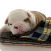 puppy sleeping with slipper