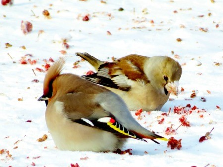 grosbeaks in the snow eating