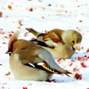 grosbeaks in the snow eating