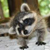 curious young raccoon