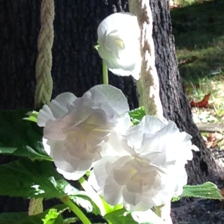 Sleeping Beauty (Angel Wing Begonia)