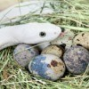 Preventing Snakes From Stealing Eggs