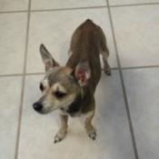 brown and tan dog with big ears