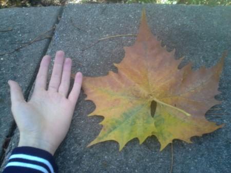 Fall Maple Leaf