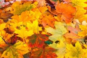 beautiful colorful fall maple leaves