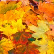 beautiful colorful fall maple leaves