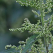 common or stinging nettle