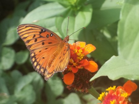 orange butterfly with black spots