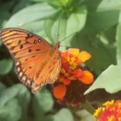 orange butterfly with black spots
