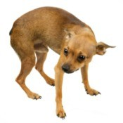 scared dog with tail between legs