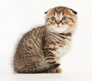 tabby colored Scottish Fold kitten
