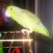 Skittle Katherine - Parrot - Hurricane Katrina Rescue