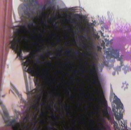 Ivy - Toy Poodle