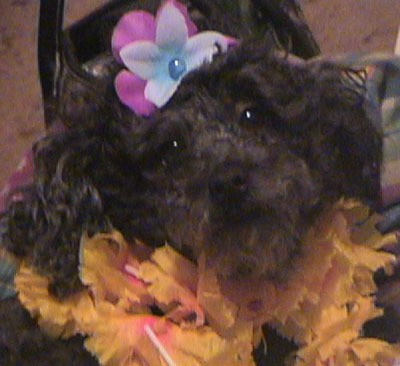 A black toy poodle dressed in a Hawaiian costume.