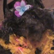 Queenie - Toy Poodle