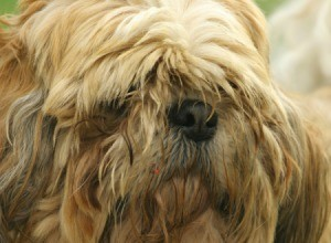dog with hair covering its eyes and messy coat