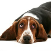 Bassett Hound lying down and looking up