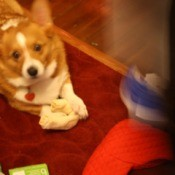 Corgi with Christmas stocking