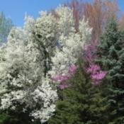 Flowering spring trees