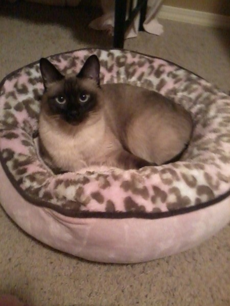 Siamese cat in bed.