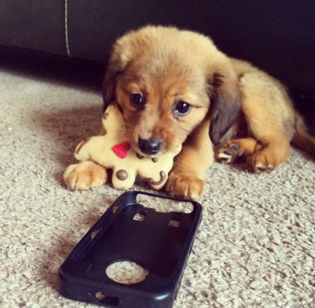 brown puppy with toy