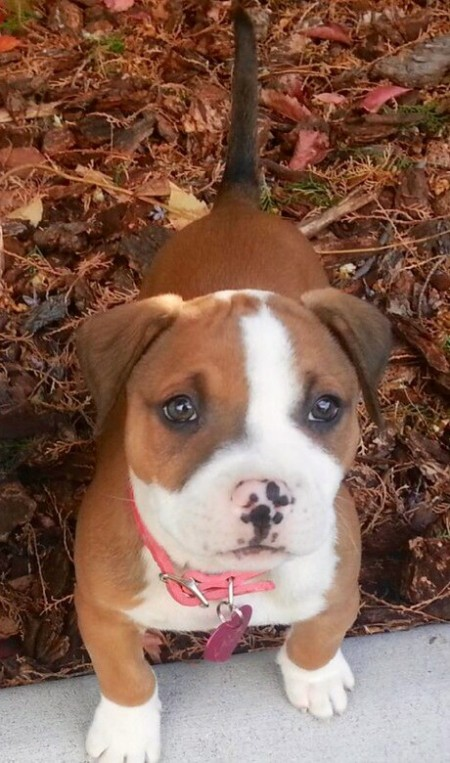 A pitbull puppy with leaves on the ground