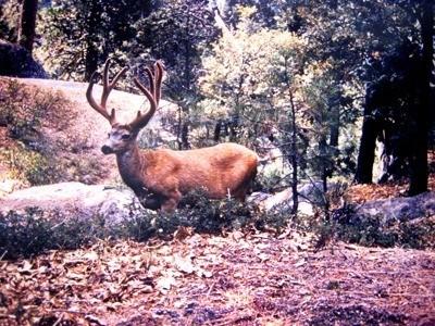 deer with large antlers