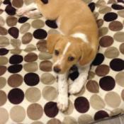 tan and white Beagle mix on polka dot bedding