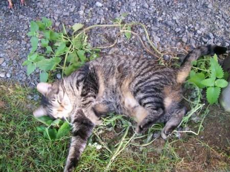 rolling in the wild catnip