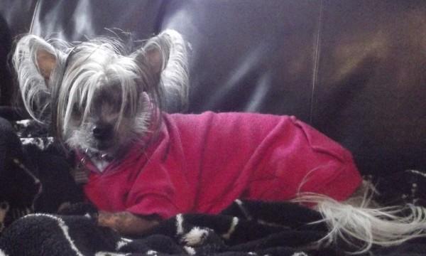 Sasha (Hairless Chinese Crested)