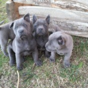 grey puppies