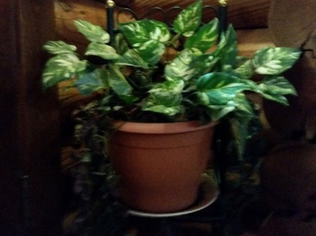 A green philodendron