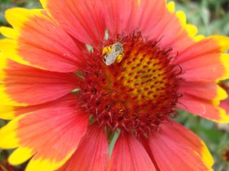 blanket flower with honey bee