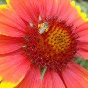 blanket flower with honey bee