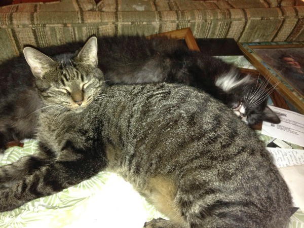 maine coon cats pictures