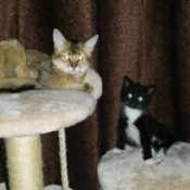 Somali and small black and white cat