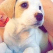 tan and white puppy