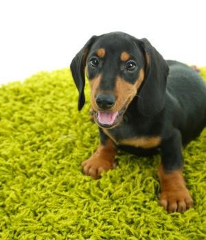 Dog on Green Carpet