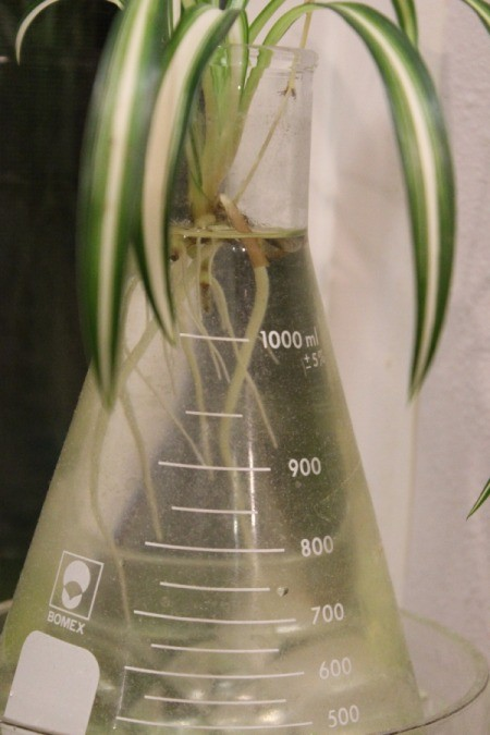 Rooting a Spider Plant - new roots on plant