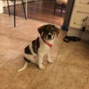 tricolor puppy sitting