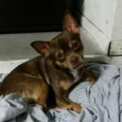 brown and tan dog on towel